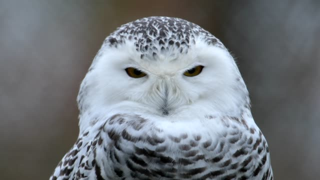 portrait of snowy owl, bubo scandiacus - owl stock videos & royalty-free footage
