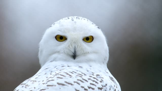 vídeos de stock e filmes b-roll de portrait of snowy owl, bubo scandiacus - turning
