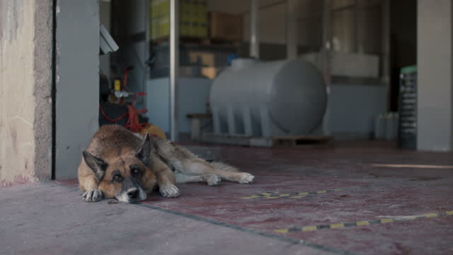 portrait of watchdog on concrete floor - obedience stock videos & royalty-free footage