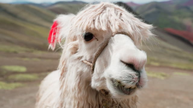portrait of white alpaca eating against mountains on sunny day, close-up of vicugna pacos with bridle - rainbow mountain, peru - bridle stock videos & royalty-free footage