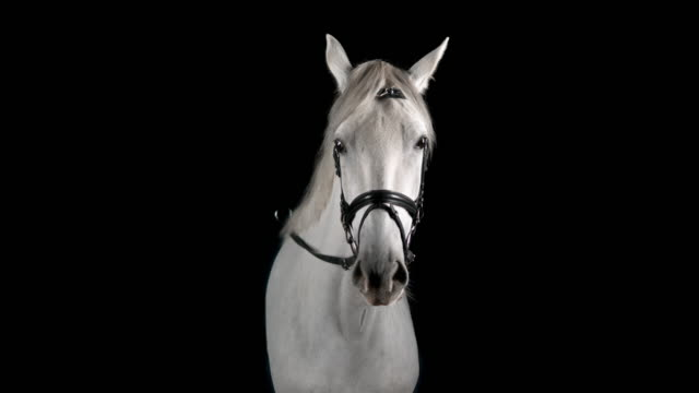 slo mo portrait of white horse looking into the camera - horse stock videos & royalty-free footage