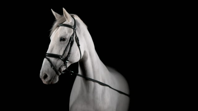 vídeos de stock e filmes b-roll de slo mo portrait of white horse turning head to right - fundo preto