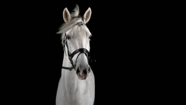 slo mo portrait of white horse - horse stock videos & royalty-free footage