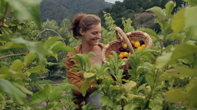 ms td portrait of young woman picking plums in garden / big sur, california, usa - basket stock videos and b-roll footage