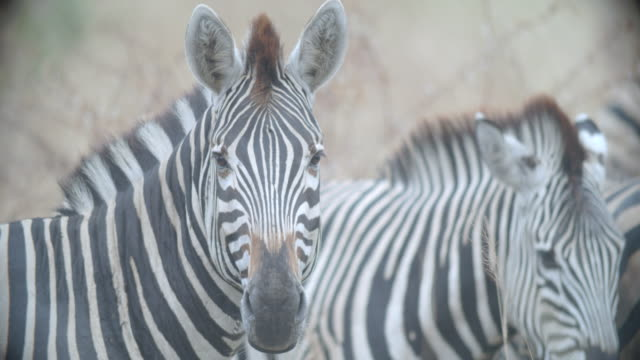 cu portrait of zebra (equus quagga) / kruger national park/ mpumalanga/ south africa - mpumalanga province stock videos and b-roll footage