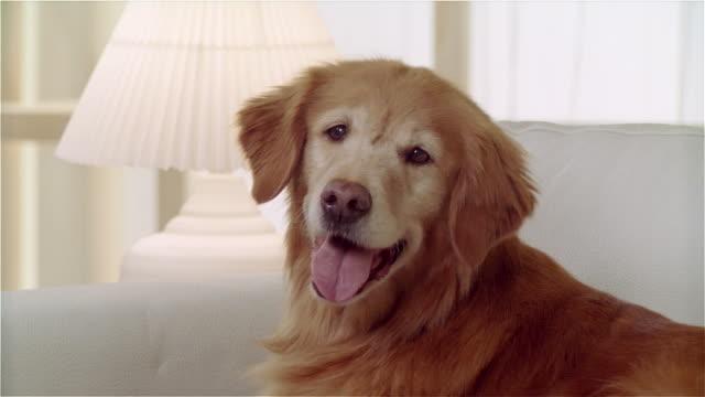 cu zo portrait panting golden retriever lying on sofa - panting stock videos & royalty-free footage