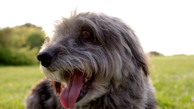 slo mo portrait terrier panting in park - terrier stock-videos und b-roll-filmmaterial