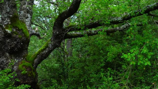 vídeos y material grabado en eventos de stock de portuguese oak, garganta de escuain, ordesa y monte perdido national park, - comunidad autónoma de aragón