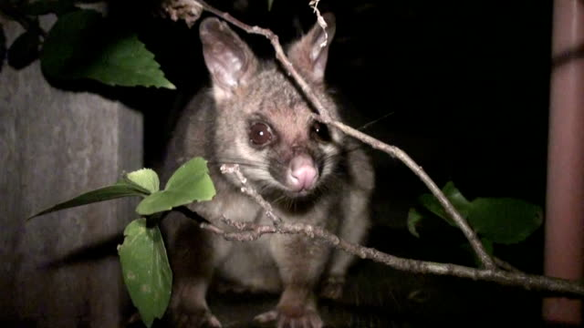 possum at night - nature reserve stock videos & royalty-free footage