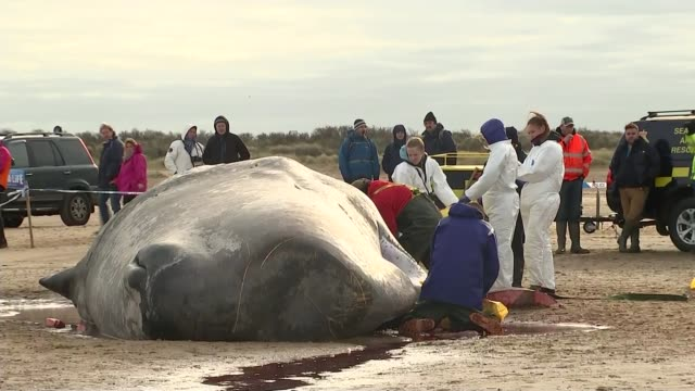 post mortem to be carried out on dead whale on hunstanton beach; england: norfolk: hunstanton: ext wide shots of people on hunstanton beach people... - cetacea stock videos & royalty-free footage