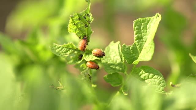 vídeos y material grabado en eventos de stock de escarabajo larvae papas - escarabajo de cuerno largo