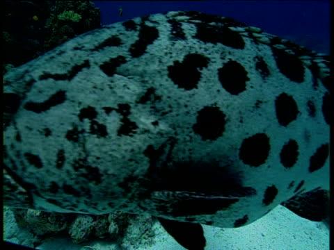 potato cod swims right to left, great barrier reef - タラ点の映像素材/bロール