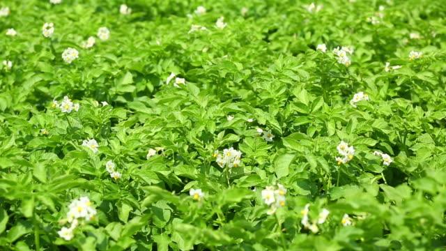 cu tu potato field in bloom - raw potato stock videos & royalty-free footage