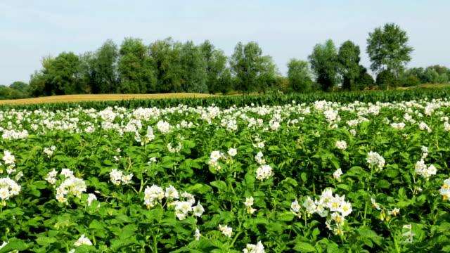 vídeos y material grabado en eventos de stock de patata campo de bloom - erial