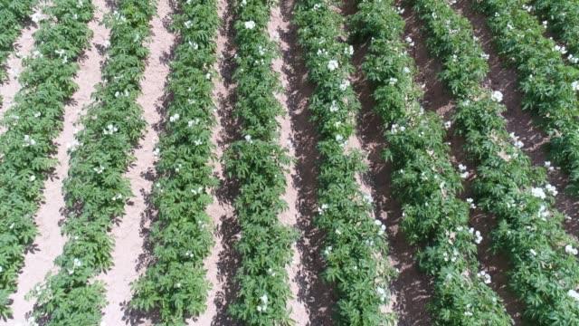 potato field in springtime flyover - plantation stock videos & royalty-free footage