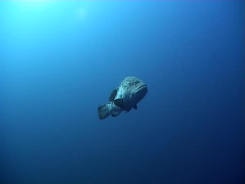 potato grouper (epinephelus tukula). shark reef. red sea - tursiope video stock e b–roll