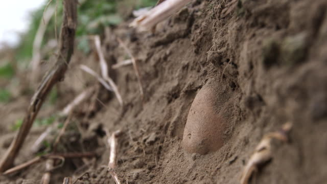 potato in ground - wiese stock videos & royalty-free footage
