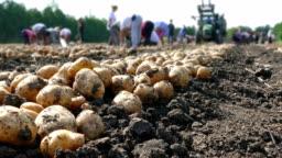 Potato on field