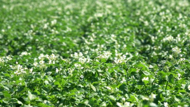 potato plant in bloom - raw potato stock videos & royalty-free footage