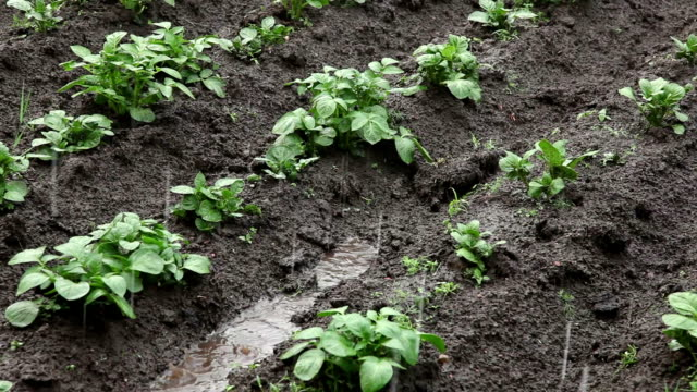 Potato plants during the rain