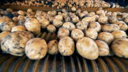 Potato tubers inside of a harvesting mechanism. Fresh harvest concept.