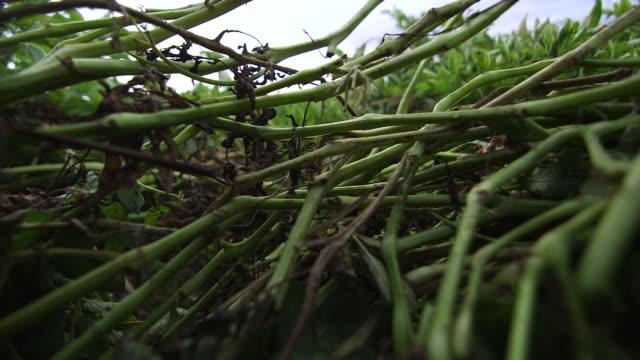 potato vines cu - wiese stock videos & royalty-free footage
