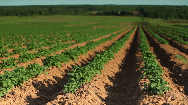 potatoes field  - raw potato stock videos & royalty-free footage