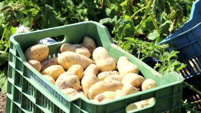 vidéos et rushes de potatoes growing in a field on lesvos, greece. - pomme de terre