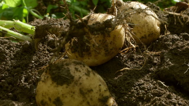 potatoes - land stock videos & royalty-free footage