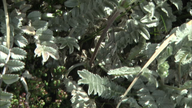 potentilla leuconota var. borneensis stapf in malaysia  - var bildbanksvideor och videomaterial från bakom kulisserna