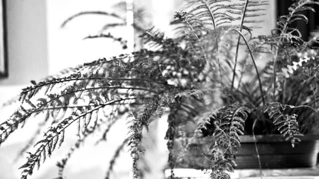 vídeos y material grabado en eventos de stock de helecho en maceta planta, blanco y negro tono. - imagen virada