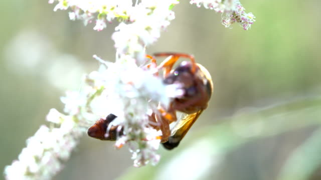 potter wasp feeding on flowers - potter stock videos and b-roll footage