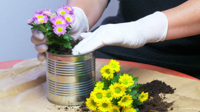 vídeos de stock e filmes b-roll de potting chrysanthemums in a used tin can - plantar