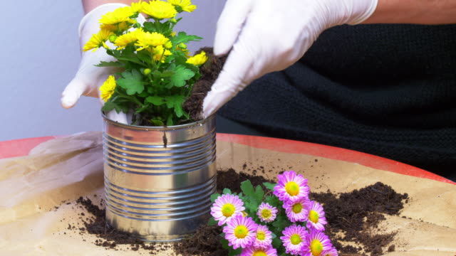 potting chrysanthemums in a used tin can - can stock videos & royalty-free footage
