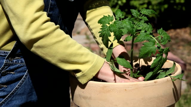 potting tomato plant - potting stock videos and b-roll footage