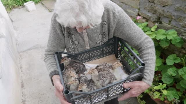 poultry farm. portrait of an old farmer woman breeding turkeys. grandmother carrying baby turkeys to the animal pen. bird hatchery. seniors working. - working seniors stock videos & royalty-free footage