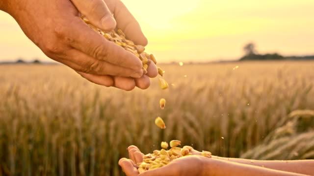 vídeos y material grabado en eventos de stock de mo el vertido de san luis obispo de maíz en la mano de un niño maíz - maíz alimento