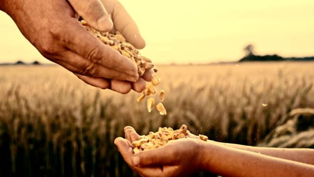 SLO MO gieten graan maïs in kind hand