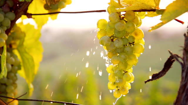 stockvideo's en b-roll-footage met hd super slow-mo: pouring water over the grapes - sappig