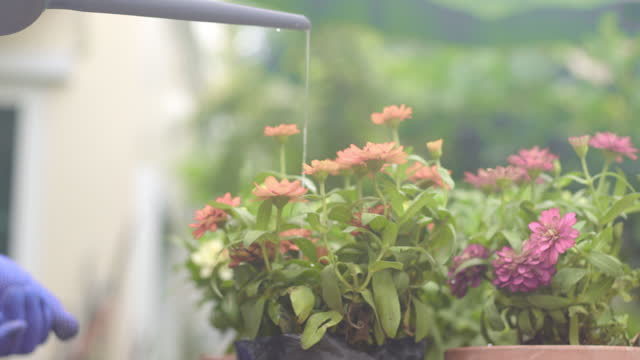 stockvideo's en b-roll-footage met pouring water to  plant in the outdoor.gardening and decorating for stay at home - bloemenmotief