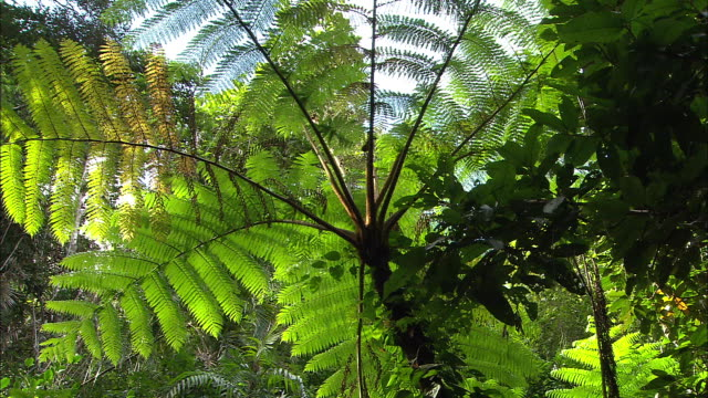 pov drive tracking through tropical rainforest / close up giant tree fern / tracking through rainforest - tree fern stock videos & royalty-free footage
