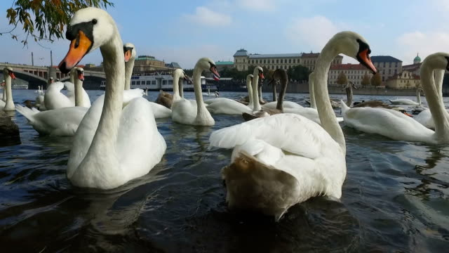 pov of swan attack,slow motion - prague stock videos & royalty-free footage