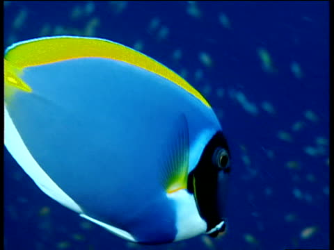 powder blue surgeon fish feeding on coral reef, laccadive islands - surgeonfish stock videos and b-roll footage