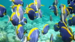 Powder Blue Surgeonfish Dance