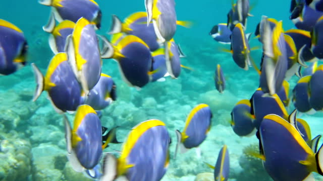 Powder Blue Surgeonfish Dance