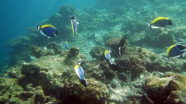 powderblue surgeonfish swimming playfully on coral formation - unterwasserkamera stock-videos und b-roll-filmmaterial