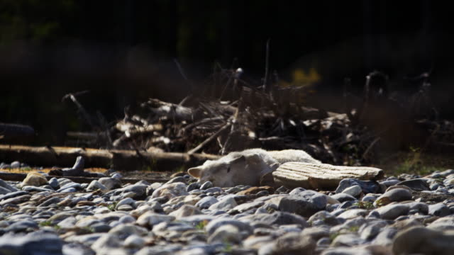 powerful lone wolf rolling outdoors on dried riverbed - eco tourism stock videos & royalty-free footage