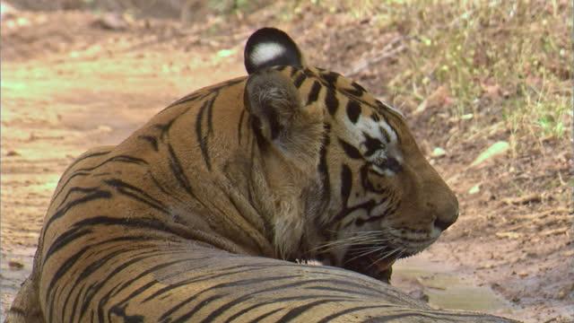 vídeos y material grabado en eventos de stock de a powerful male tiger sitting in the open forest - medium shot - medium group of animals