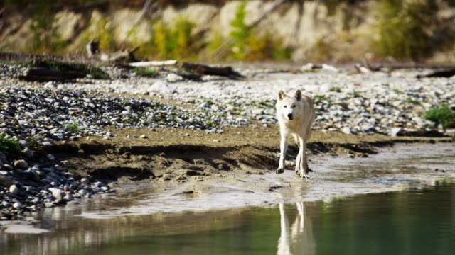 powerful north american wolf by woodland wilderness river - ökotourismus stock-videos und b-roll-filmmaterial