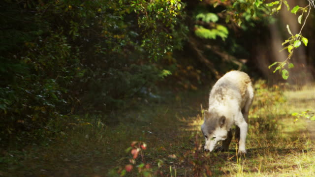 powerful north american wolf in woodland wilderness habitat - ökotourismus stock-videos und b-roll-filmmaterial